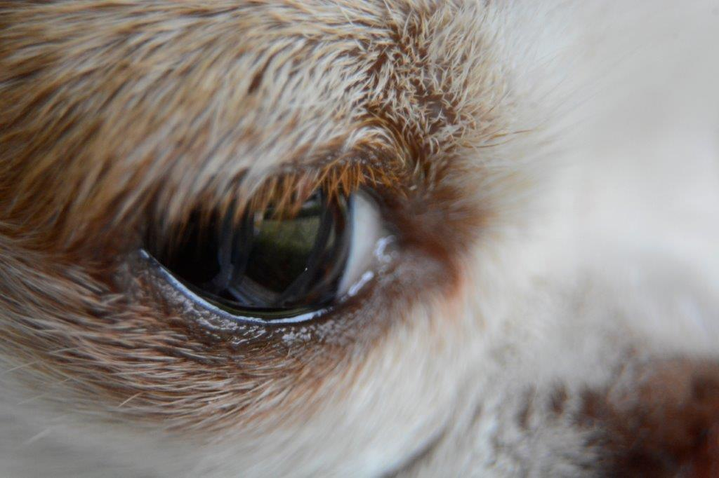 A photo closeup of a dog's eye